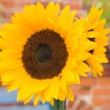 Heldere mooie zonnebloemen Stock Foto