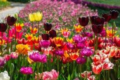 Heldere multicolored tulpen van verschillende verscheidenheden stock afbeeldingen