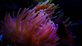 Heldere oranje anemonen onderwater stock video