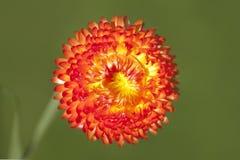 Heldere oranje bloem royalty-vrije stock afbeeldingen