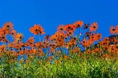Heldere oranje die madeliefjes tegen hemel worden gesilhouetteerd royalty-vrije stock foto