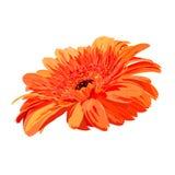 heldere oranje gerbera op witte achtergrond Royalty-vrije Stock Fotografie