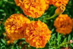 Heldere oranje goudsbloemen die in de tuin in de zonneschijn groeien Royalty-vrije Stock Fotografie