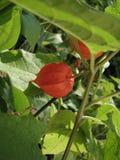 Heldere oranje physalis onder groene bladeren stock foto