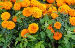 Heldere oranje van de patulabloem van goudsbloemtagetes dichte omhooggaand stock fotografie