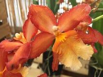 Heldere orchidee Royalty-vrije Stock Fotografie