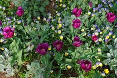 Heldere pansies en tulpen in het grote kleurrijke bloembed Royalty-vrije Stock Afbeelding