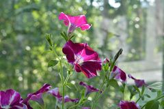 Heldere petuniabloemen De mening van de close-up De zomertuin op het balkon royalty-vrije stock foto