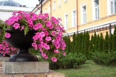 Heldere petuniabloemen in zwarte kom stock afbeelding