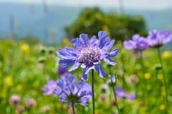 Heldere purpere bloemen op het gebied Stock Foto