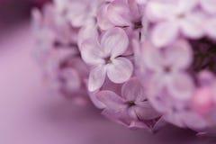 Heldere purpere die lilac bloemen op roze achtergrond worden geïsoleerd Royalty-vrije Stock Afbeelding