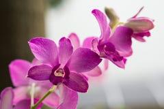 Heldere purpere orchidee Royalty-vrije Stock Foto