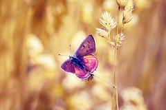 Heldere purpere vlinder Stock Foto