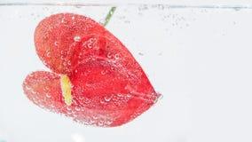 Heldere rode anthuriumbloem in duidelijk duidelijk water stock afbeelding