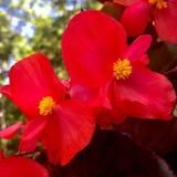 Heldere rode begonia Royalty-vrije Stock Foto