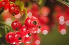 Heldere rode bessen van rode aalbes/heldere rode bessen van rode aalbes op zonlicht royalty-vrije stock afbeeldingen