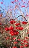 Heldere rode bessen van Viburnum op de takken Stock Fotografie