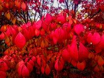 Heldere rode bladeren die omhoog de herfststruiken aansteken stock foto