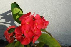 Heldere rode bloemen en groene bladeren gegoten schaduwen op een witte muur Stock Afbeelding