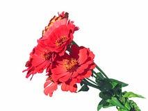 Heldere rode bloemzinnias Stock Foto's