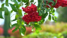 Heldere rode cluster van de herfstbessen stock video