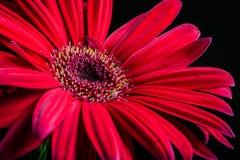 Heldere Rode Daisy Reaching omhoog voor de Zon stock foto's