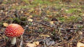 Heldere rode die paddestoelamaniet in het bos wordt gevonden stock videobeelden
