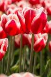 Heldere Rode en Witte Tulpen Holland Michigan Vertical Stock Fotografie