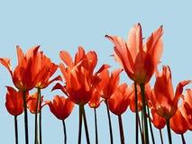 Heldere rode gekleurde die tulpen tegen een achtergrond van een blauwe hemel worden geïsoleerd Royalty-vrije Stock Foto