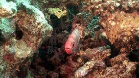 Heldere rode gestreepte vissen in koralen onderwateroverzees stock videobeelden