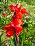 Heldere rode gladiolen op de achtergrond van groene gras en struiken royalty-vrije stock afbeeldingen