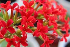 Heldere rode kruisvormige bloemen in de Kalanchoe-bloeiwijze stock fotografie