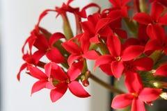 Heldere rode kruisvormige bloemen in de Kalanchoe-bloeiwijze stock afbeeldingen