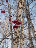 Heldere rode lijsterbes in het de winter sneeuwbos in Rusland stock afbeeldingen
