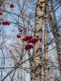 Heldere rode lijsterbes in het de winter sneeuwbos in Rusland stock foto
