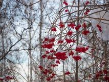 Heldere rode lijsterbes in het de winter sneeuwbos in Rusland royalty-vrije stock afbeelding