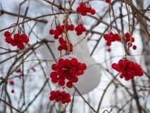 Heldere rode lijsterbes in het de winter sneeuwbos in Rusland stock foto's