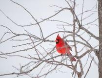 Heldere rode Noordelijke Hoofdvogel die op een bustehouder rust Stock Afbeeldingen