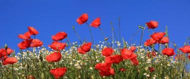 Heldere rode papaverbloemen en margrieten tegen blauwe hemel Royalty-vrije Stock Afbeeldingen