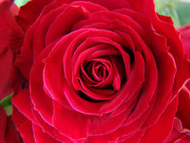 Heldere rode rozen Royalty-vrije Stock Afbeeldingen