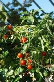 Heldere rode tomaten Stock Foto