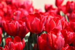 Heldere rode tulpen in de tuin in de zon stock afbeeldingen