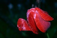 Heldere rode tulpenbloem na de lenteregen stock foto