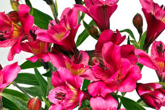 Heldere Roze Alstromeria-Bloemen Royalty-vrije Stock Afbeeldingen