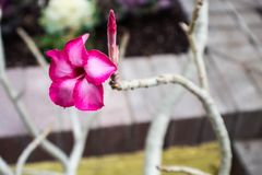 Heldere roze bloei tegen witte boomschors royalty-vrije stock afbeelding