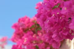 Heldere roze bloemen Royalty-vrije Stock Foto