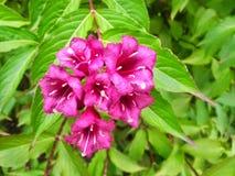 Heldere Roze Bloemen die in het Vlindertentoongestelde voorwerp bloeien Stock Afbeeldingen