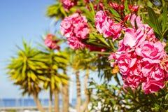 Heldere roze bloemen op een achtergrond van palmen, Costa Adeje, Stock Fotografie