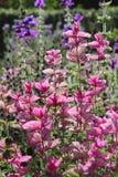 Heldere Roze Bracteeën, Sage Plant royalty-vrije stock foto