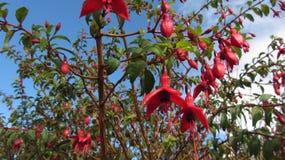 Heldere Roze Fuchsia Stock Afbeelding